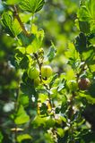 green gooseberries on a branch of bush with sunlight in the fruit garden stock images