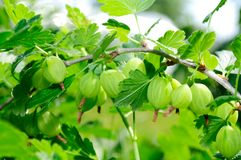 Green Gooseberries on Bush Stock Photos