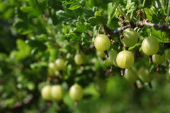Green gooseberries on the bush. Grossularia Royalty Free Stock Images