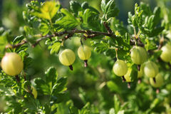 Green gooseberries on the bush. Grossularia Royalty Free Stock Image