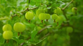 Green gooseberries ripen on the bushes Royalty Free Stock Photo