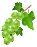 Green gooseberry royalty free illustration