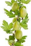 Green gooseberry branch Royalty Free Stock Images