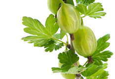 Green gooseberry branch Royalty Free Stock Photos