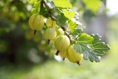 Green gooseberry Stock Photos