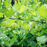 Green gooseberry in the garden. Organic food. Royalty Free Stock Photos