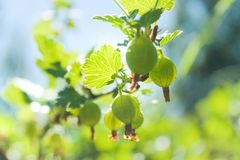 Green gooseberry grows in europe in summer. Green gooseberry grows in Europe only in summer, gooseberries are native to Europe and Asia west stock photos