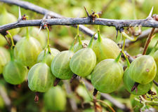 Green gooseberry is hanging on a branch Royalty Free Stock Image