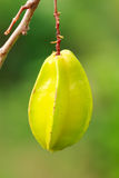Green Gooseberry on tree Stock Photos