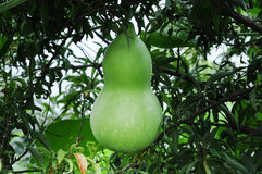 Green gourd Stock Images
