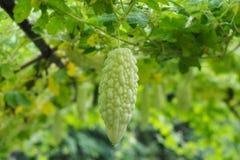 Green gourd little stock photo