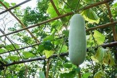 Green gourd in outdoor vegetable garden royalty free stock photos