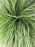Green Graas close-up Stock Photo