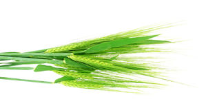 Green grain Royalty Free Stock Image