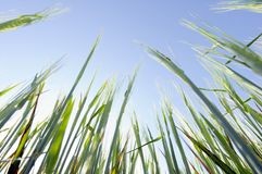Green grain. Young green grain against blue sky stock photo