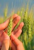 Green grain Royalty Free Stock Photos