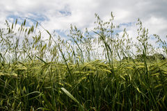 Green grain Stock Photo