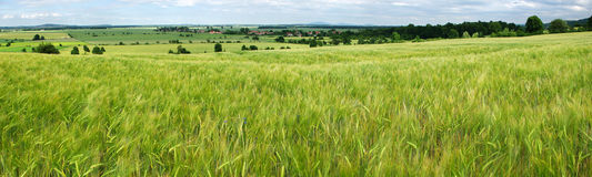 Green grain field Stock Image