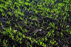 Green grain Royalty Free Stock Images