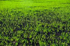 Green grain Stock Images