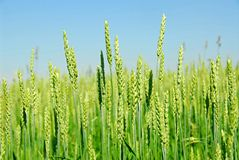 Green grain growing Stock Images