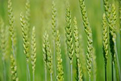 Green grain growing Royalty Free Stock Images