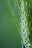 Green grain macro on background. Stock Photography