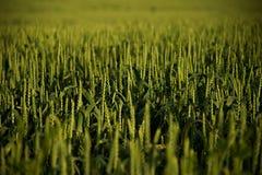 Green grain Stock Image
