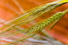 Green grain ready for harvest growing in a farm fi Royalty Free Stock Photo
