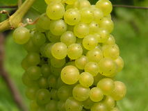 Green grape. In vineyard Stock Photography