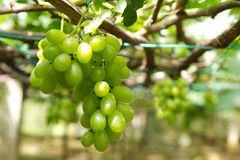 Green grape. Close up shot of green grape in vineyard Stock Photo