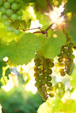 Green grape Royalty Free Stock Photo
