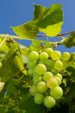 Green grape. Growing green grape and blue sky Royalty Free Stock Photos