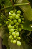 Unripe bunch of grape royalty free stock images