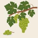Green grape branch Royalty Free Stock Photos