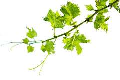 Green Grape branch isolation on white. Background stock image