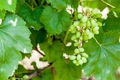 Green grape on a branch Royalty Free Stock Photos