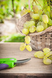 Green grape in bsket and garden secateurs.  Royalty Free Stock Images
