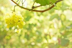Green grape bunch Royalty Free Stock Photo