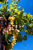Green grape bunch in the vineyard into a farm Royalty Free Stock Photography