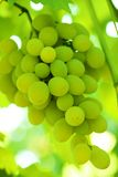 Green grape cluster Royalty Free Stock Photos