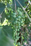 Green grape cluster hanging from a vine. Immature grapes on the vine, Southern California wine country royalty free stock image