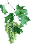 Green grape cluster with leaves on vine Stock Images