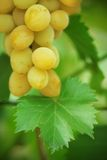 Green grape cluster with leaves on vine Stock Photography