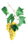 Green grape cluster with leaves on vine Stock Photo
