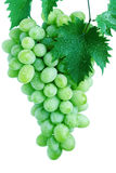 Green grape cluster with leaves on vine Stock Image