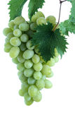 Green grape cluster with leaves on vine Royalty Free Stock Image