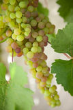Green grape cluster on vine Royalty Free Stock Image
