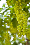 Green Grape in the farm of Thailand Stock Photo