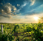 Green grape field Royalty Free Stock Photo